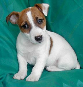 A Jack Russel Terrier